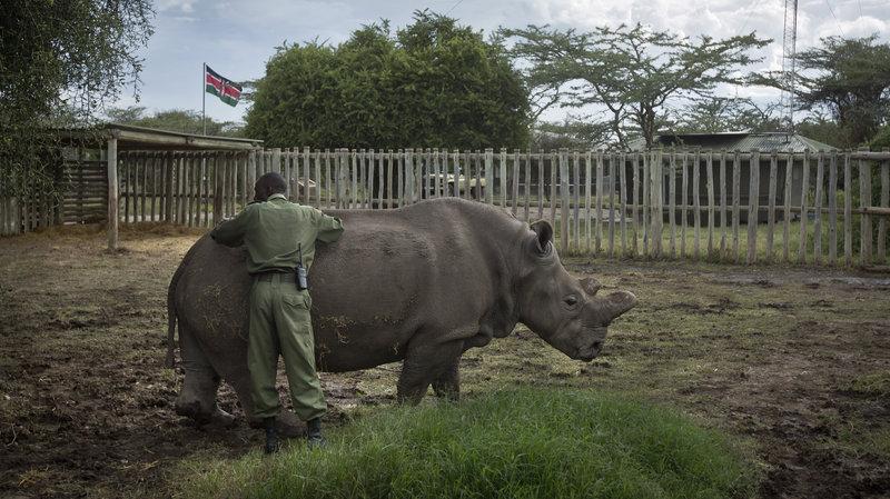 northern white rhino 2