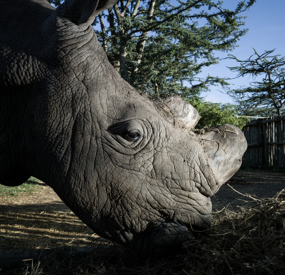 nothern white rhino