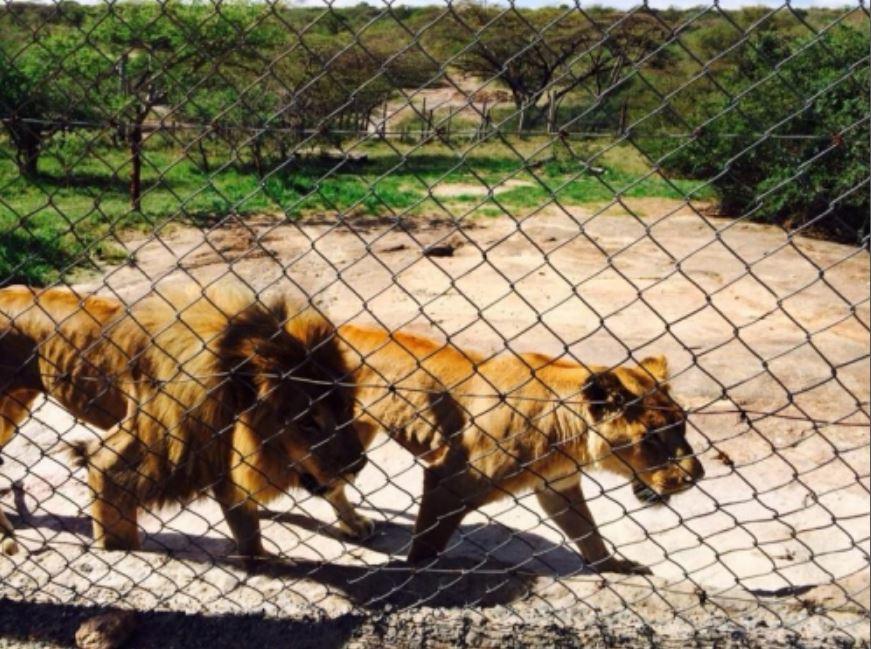 mutula lions