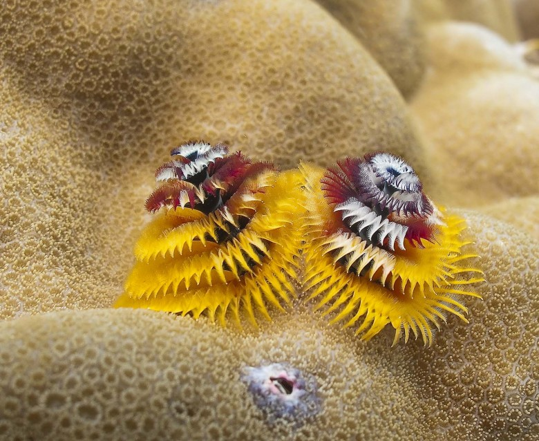christmas-tree-worms