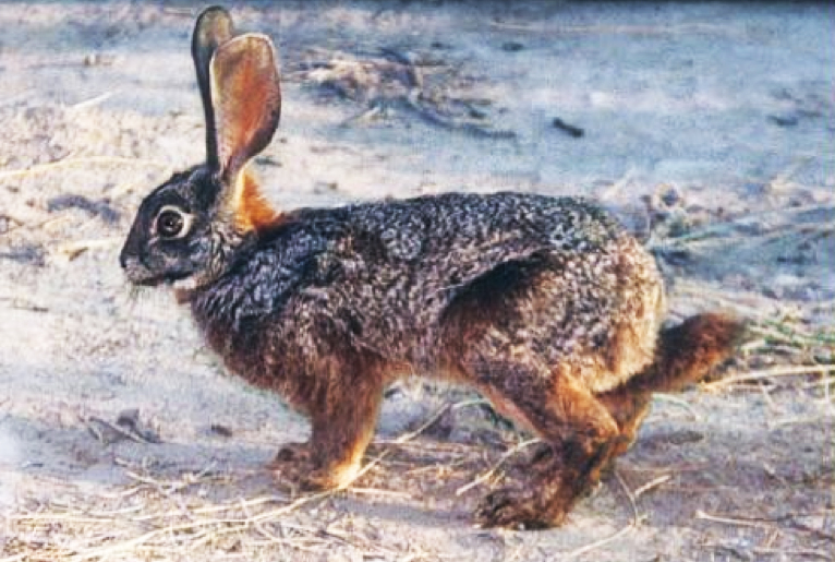 Rare-Riverine-Rabbit