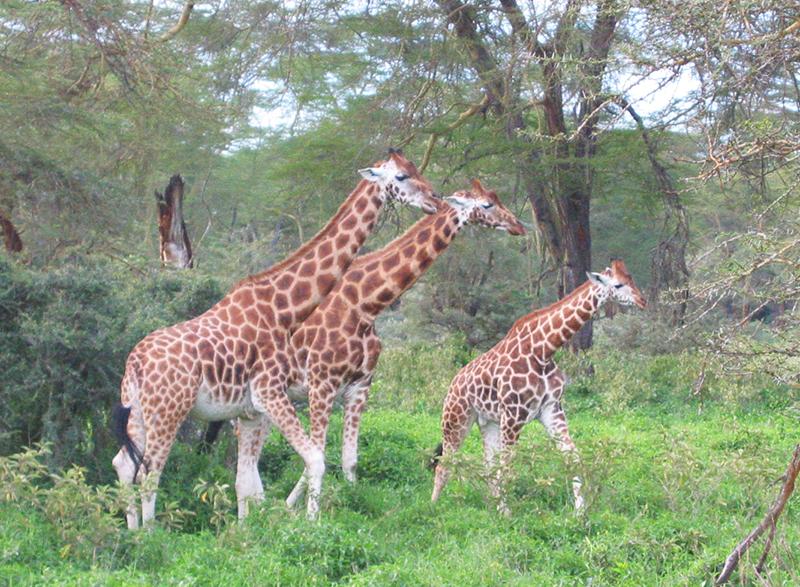 Rothschild's-Giraffes-Lake-Nakuru